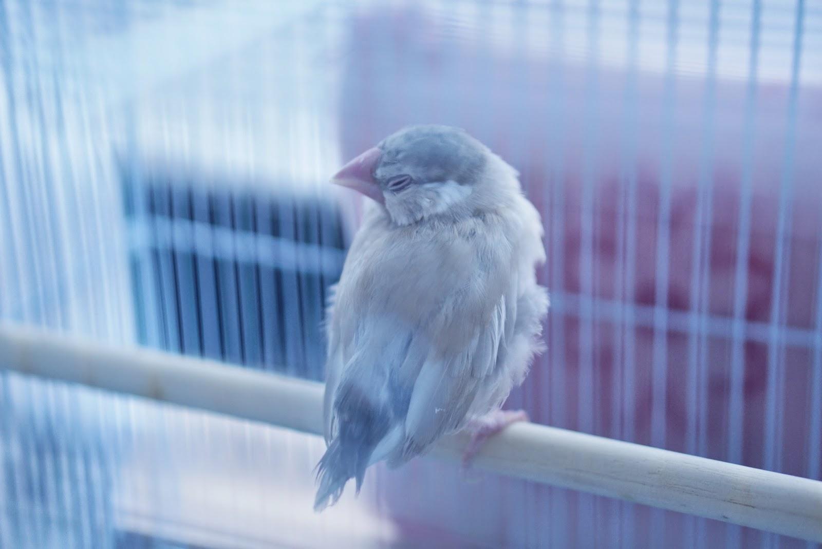 シナモン文鳥をお迎えしました